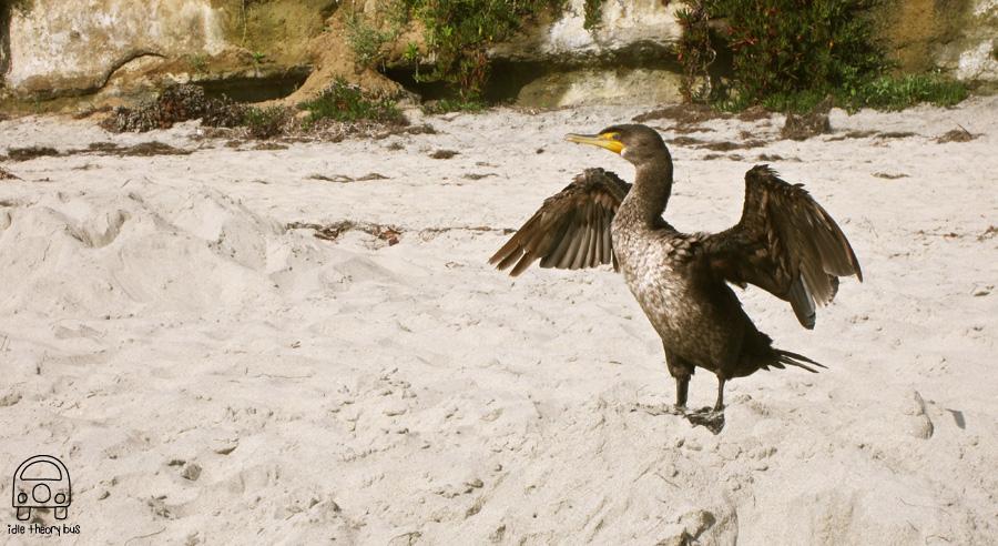 3 Cormorant