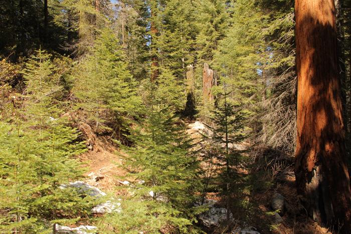 Sequoia_Pines